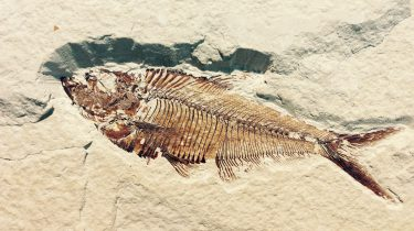 fossilized fish partially exposed in rock